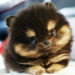 cute pomsky