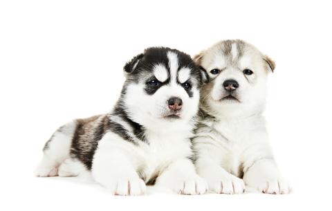 pomksy puppies